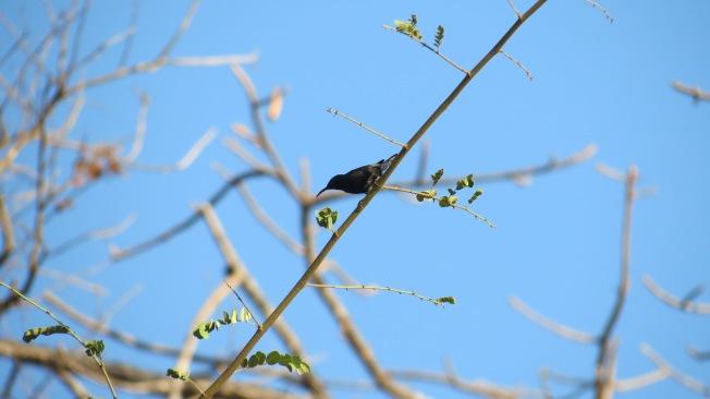 Sunbird en-route to Mangavli